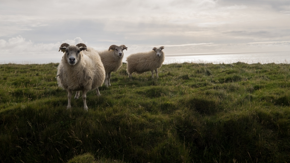 3-iceland-vik-sheep